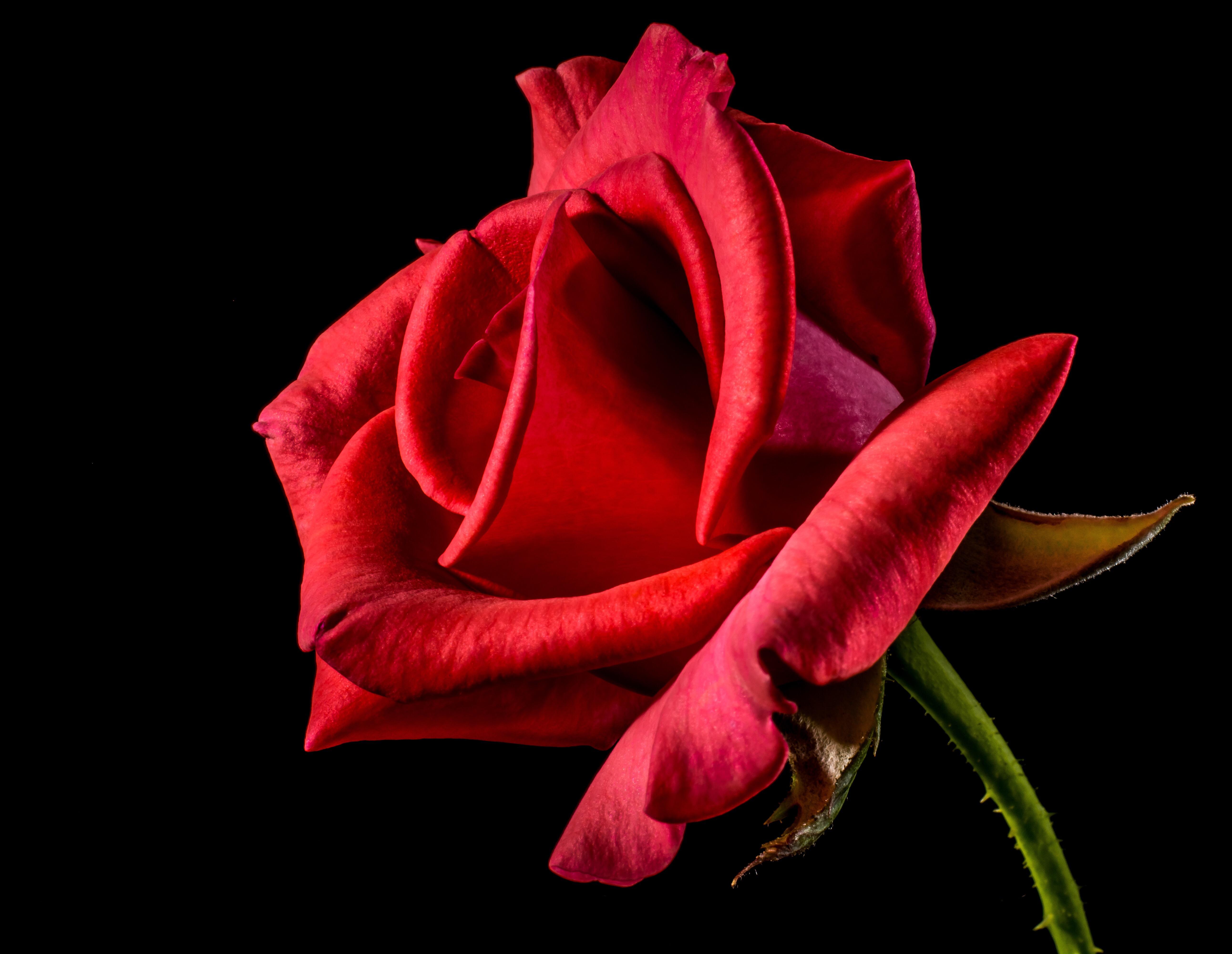 red rose Valentine's Day